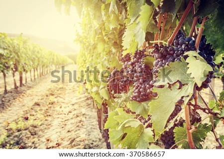 Ripe wine grapes on vines in Tuscany vineyard, Italy. Sun shining through leaves - stock photo