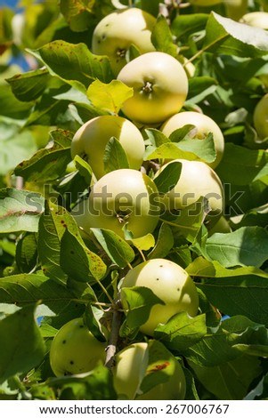 Ripe yellow apples on a branch apple tree - stock photo