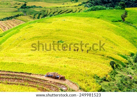 Ripen rice terraces of the H'mong minority people with children passing by in Y Ty, Lao Cai, Vietnam. - stock photo