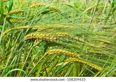 Ripening barley - stock photo