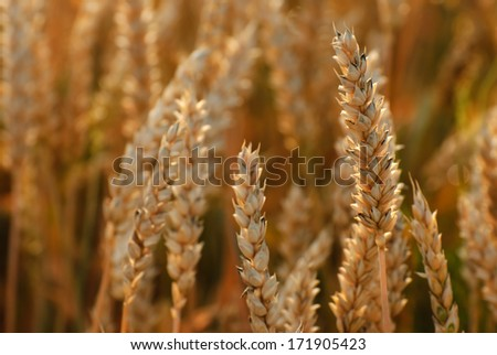 ripening ears of wheat field on the background of the setting  - stock photo