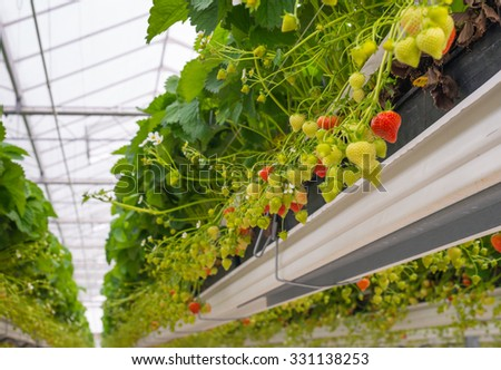 Ripening strawberries and white blossoms on strawberry plants in a large specialized horticultural company. - stock photo