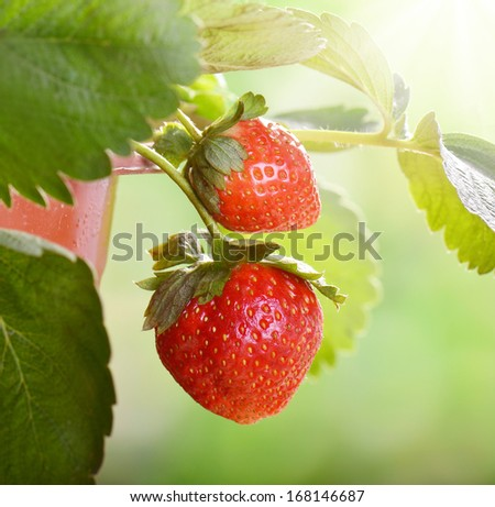 ripening strawberry fruits on the branch  - stock photo