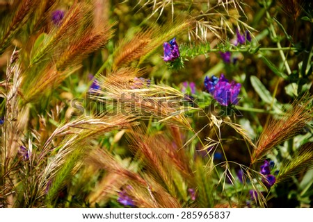 Ripening wheat spikes and blooming wild lavender flowers. South of Portugal. Selective focus on the spices in the center. - stock photo