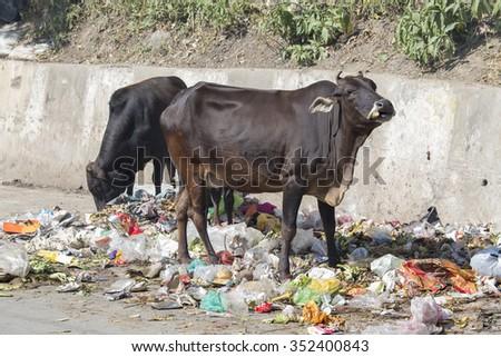 RISHIKESH, INDIA - OCTOBER 19, 2014 : Cow eat rubbish in Rishikesh, India - stock photo