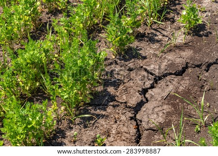 Rising sprout on dry cracked ground. Ecological disaster. The zone of risky agriculture with crops need irrigation. Plantation carrots in the period of drought - stock photo