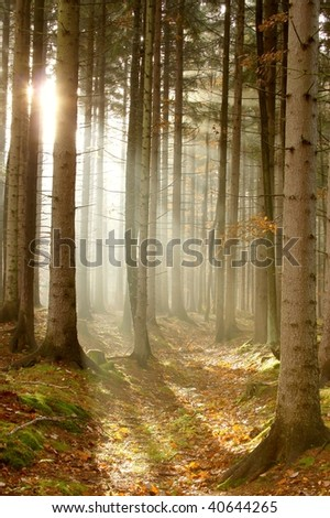 Rising sun falls into the coniferous forest. Photo taken after rainy night. - stock photo