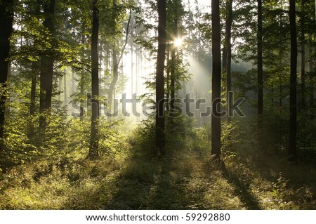 Rising sun falls into the deciduous forest on a foggy summer morning. - stock photo