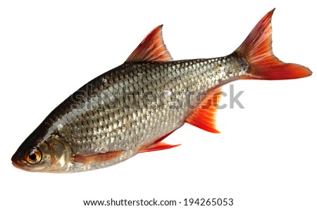 River Fish Isolated on white background. roach - stock photo