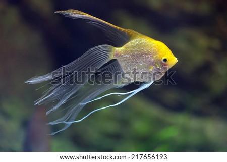River fish Pterophyllum (hybrid form Gold and Veil), underwater photography - stock photo