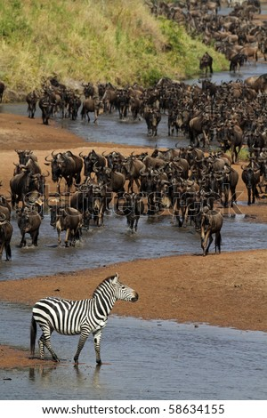 River of wildebeest crossing the Mara River during the migration, Serengeti, Tanzania - stock photo