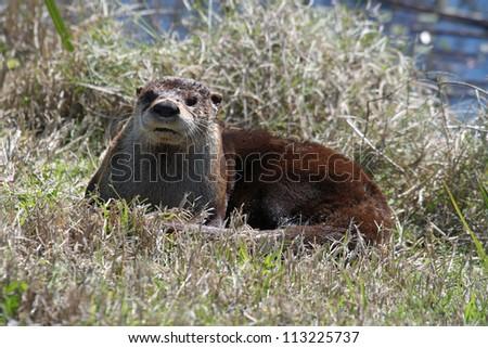 river otter - stock photo