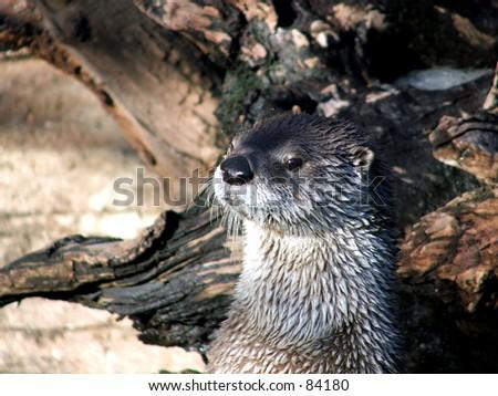 river otter head color - stock photo