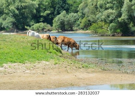 River the Doubs in the western of France with cattle Charolais cows - stock photo