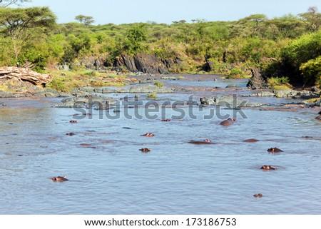 River with hippo, hippopotamus group. Safari in Serengeti, Tanzania, Africa - stock photo