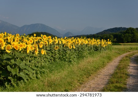 Road between fields of sunflowers - dawn - stock photo