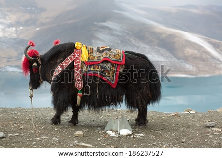 Road of the Friendship, Yak at the Namtso Lake in Tibet, China - stock photo