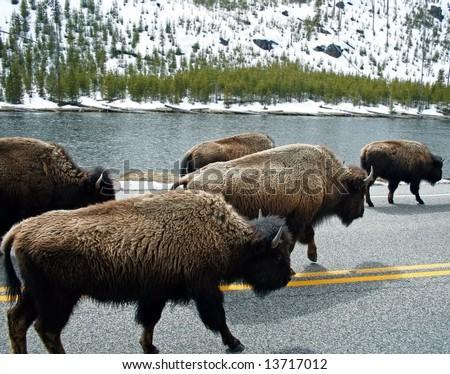 Roaming Buffalo - stock photo