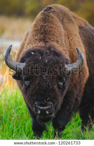 Roaming herds of wild Plains Bison, Elk Island National Park Alberta Canada - stock photo