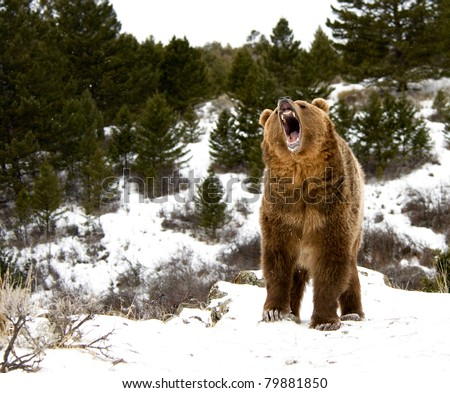Roaring grizzly on winter hill - stock photo
