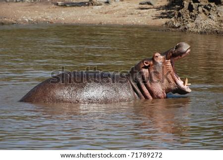 Roaring Hippo - stock photo