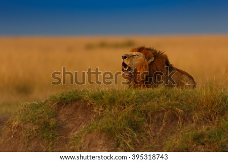 Roaring Maji Ya Fisi Lion at sunset in Masai Mara, Kenya - stock photo