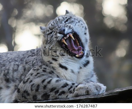 Roaring Snow leopard - stock photo