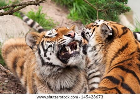 Roaring tigers  - stock photo