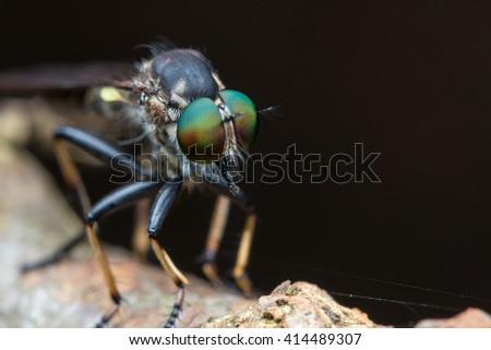 Robber Fly / Close-Up of Robber Fly - stock photo