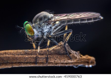 Robber fly eats insect , Successful hunting robber fly killing insect on tree branches. - stock photo