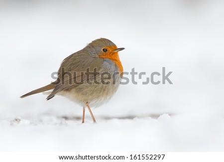 Robin bird in a winter setting  - stock photo