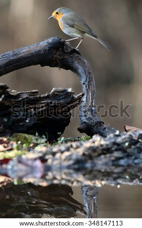 Robin bird in nature - stock photo