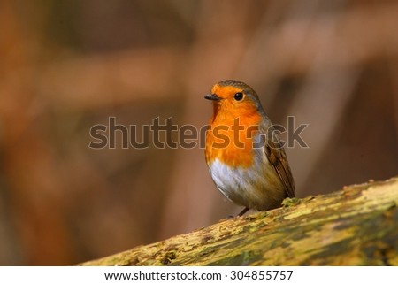 Robin bird on a branch - stock photo