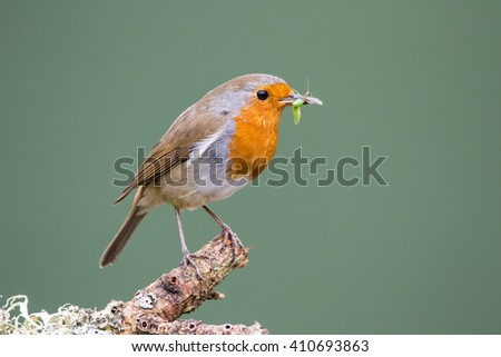 Robin (Erithacus rubecula) perched on a branch, in spring, holding a beak full of insects, preparing to feed its young - stock photo