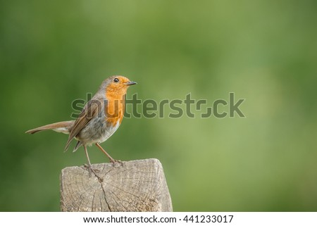 Robin, Erithacus rubecula, perched on a fence post - stock photo