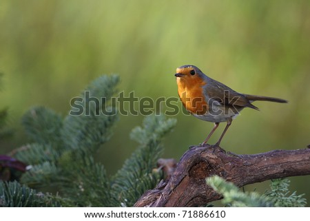 Robin (Erithacus rubecula) sitting on a branch in a garden in winter - stock photo