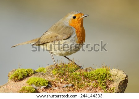 Robin (Erithacus rubecula) with a look of curiosity perched on a stone - stock photo
