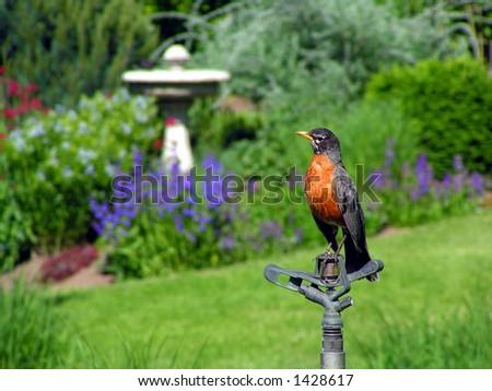 Robin in Garden - stock photo