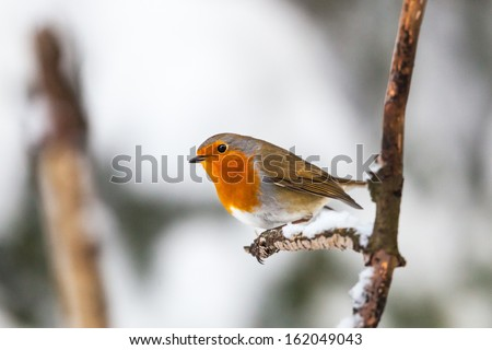 Robin on a branch in winter forest - stock photo