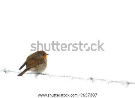 Robin on frozen barb wire, isolated over white - stock photo