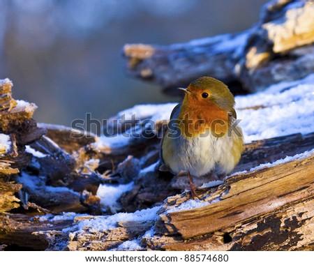 Robin on log - stock photo