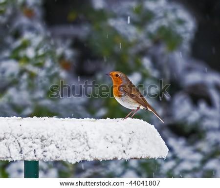 Robin on Snowy Feeder - stock photo