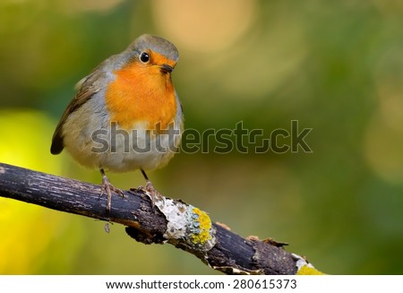 Robin on tha branch - stock photo