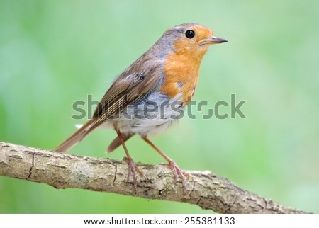 Robin on the branch - stock photo