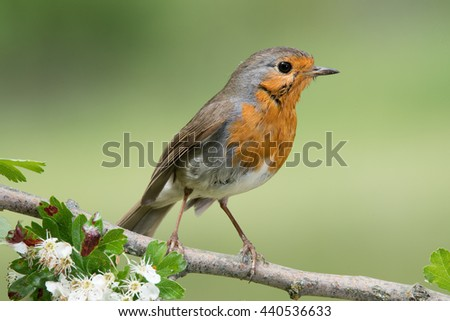 Robin perched - stock photo