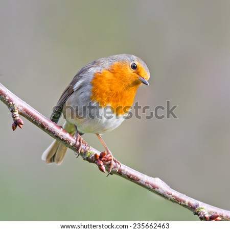 Robin perched on a branch. - stock photo