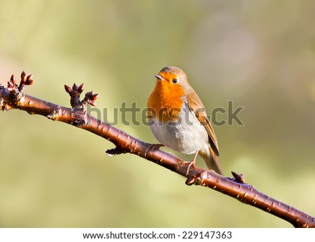 Robin perched on a tree. - stock photo