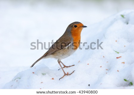 Robin perching on snowy mound - stock photo