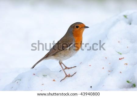 Robin perching on snowy mound - stock photo