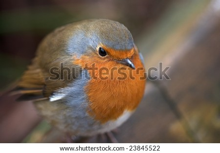 Robin red breast - puffed-up to stay warm - stock photo